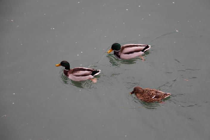 Patos no Doubs (curtindo a água gelada)